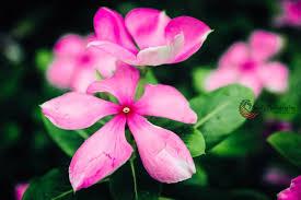 periwinkle beautiful flower