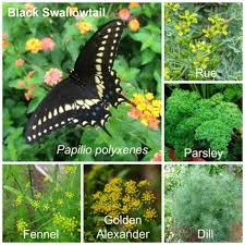 caterpillar butterfly lady eastern black swallowtail and host plants