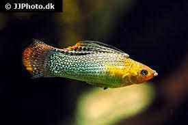 Molly Fry Growth Chart Molly Fish Care Size Life Span Tank Mates Breeding