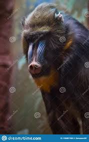 Madril Hair Design Muzzle Monkey Madril Close Up Stock Photo Image Of Face