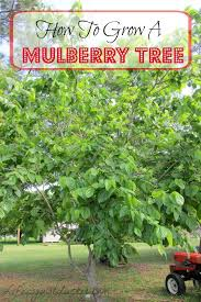 WHITE BEAUTY MULBERRY TREE  Just Fruits And ExoticsNon Fruiting Mulberry Tree
