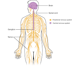 Cns Pns Chart 12 1 Structure And Function Of The Nervous System Anatomy