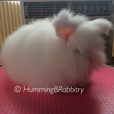 rabbit without fur. Exellent Fur BUNNYRABBITcomVanecek Bunny Farm Assumes No Responsibility For Medication  Use Or Dosage And Rabbit Without Fur T