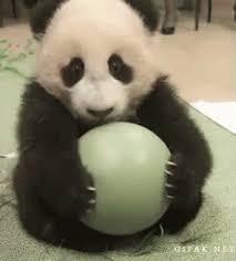 baby panda gif. Brilliant Panda Baby Panda GIF Intended Gif I