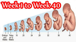 Pregnancy Week By Week Chart High Quality Baby Size Chart Week By Week Pregnancy Baby