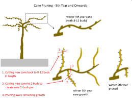 How To Prune Grape Vines Cane And Spur Pruning Explained