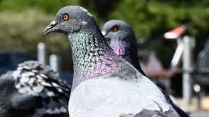 Die turteltaube steht für glück, liebe und frieden. Online Wahl Zum Vogel Des Jahres Stadttaube Hat Den Schnabel Vorn Swr2