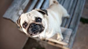 free image pug backgrounds full hd high definiton wallpapers desktop images amazing free quality images cool artwork 1920 1080 wallpaper hd
