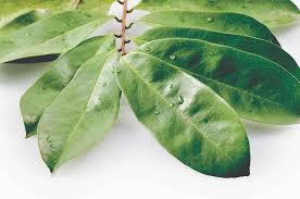 obat kanker herbal alami