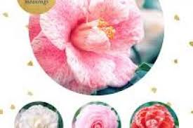 camellia flower meanings
