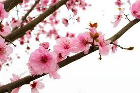 「桃の花」の画像検索結果