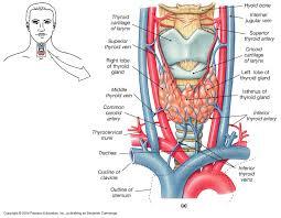 Thyroid Anatomy Papillary Thyroid Cancer Thyroid Sydney