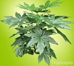 shiny green palmate fatsia plant to enlarge
