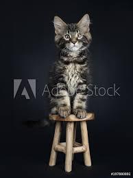 Fotografie Obraz Handsome Black Tabby Maine Coon Cat Kitten