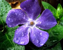 Periwinkle In Marathi Whatiscalled Com