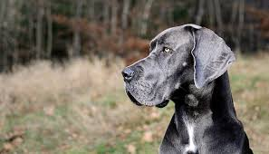Great Dane Food Chart 7 Best Dog Foods For Great Danes 2018 Treehousepuppies