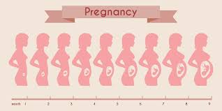 Pregnancy Stomach Measurement Chart How Big Is Your Baby A Month By Month Guide Cells For Life