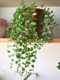 Identification images about house plants flowering care tips on hanging  golden pothos sitsitsocom indoor pinterest hanging