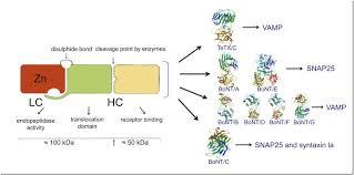 tetanus toxin clostridium tetani and tetanus toxin a therapeutic approach with a