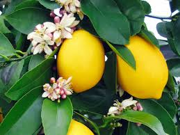 Hotel Green Lemon How To Grow A Eureka Lemon Tree Sunset