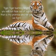 Tiger Quotes 9 Best Endangered Animals Vanished 2424 Tigers Infographics Weekly