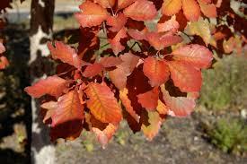 Image result for chinkapin oak