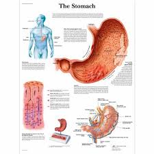 Anatomical Chart Posters The Stomach Chart