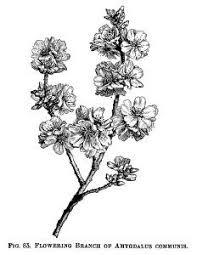 Amygdalus Communis Flowering Almond Black And White Clip Art