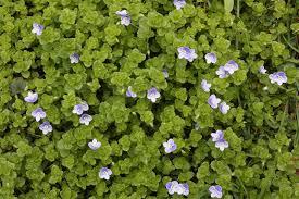 Veronica filiformis Image - Michigan Flora