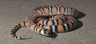 milk snake size snake zoo med laboratories inc
