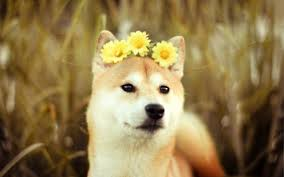 doge wallpaper ipad. Contemporary Ipad 2560x1600 Daisy Doge With The Flowers In Your Hair Doge Wallpaper Ipad E