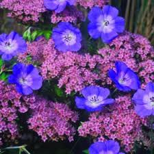 Small Picture Garden Design for Perennial Geraniums Rozanne and Friends