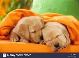 golden retriever puppy sleeping. Interesting Sleeping Golden Retriever Two Puppies Sleeping Under An Orange Blanket Studio  Picture Germany  And Retriever Puppy Sleeping E