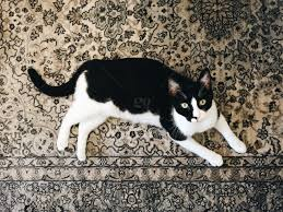 stock photo black and white cat rug kitty black
