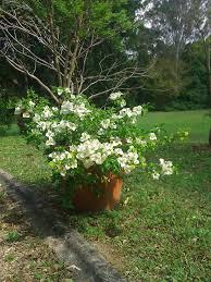 potted white bougainvillea