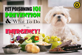 pet poisoning prevention and what to do in an emergency barks recreation