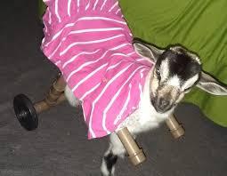 Ver más ideas sobre cabras, cabras lecheras, ganado caprino. Cabrita Que Nao Mexe Patas Traseiras Ganha Cadeira De Rodas Adaptada Anda Para Todo Lado Sao Jose Do Rio Preto E Aracatuba G1