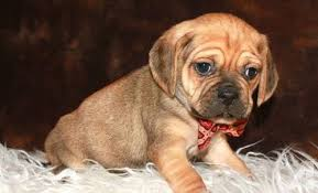 Puggle Growth Chart Puggle Puppy Rescue Goldenacresdogs Com