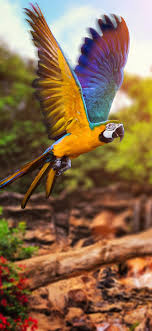 Macaw Fly hd mobile Wallpaper