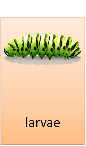Child Care Basics Resource Blog Life Cycle Of The Caterpillar