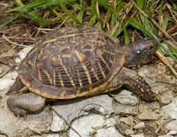 Ornate Box Turtle Mdc Discover Nature