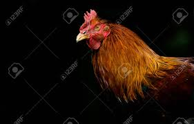 Rooster In Fine Detail Stock Photo, Picture And Royalty Free Image ...