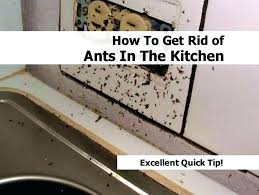 get rid of sugar ants in your house naturally how