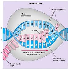 Dna segment that allows a gene to be transcribed. Chapter 8 From Dna To Protein R E C H S Biology In 2021 Dna Polymerase Dna Dna Transcription