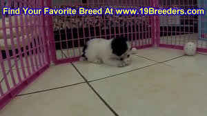 toy poodle puppies dogs in miami florida fl 19breeders tee gainesville