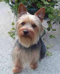 silky dog. silky terrierok yes i already have one \u0026 hes been the best dog