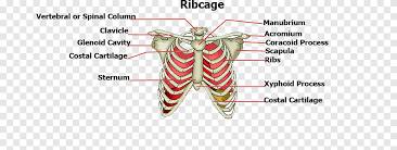 The rib cage is an arrangement of bones in the thorax of all vertebrates except the lamprey. Rib Cage Sternum Human Body Bone Body Structure Text Heart Png Pngegg