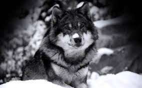 無料壁紙シベリアンハスキー犬のかっこいいい写真画像まとめ雪空草