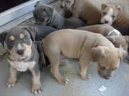 Types Of Pitbulls Chart Colors Of Pitbulls Pitbull Dog Size Chart Different Types Of