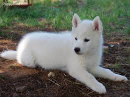 fluffy white husky puppy. Modren White Fluffy Puppy And Siberian Husky Image Throughout Fluffy White Husky Puppy S